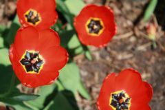 Tulipa, Tulip, Red full bloom tulip. Beautiful red tulip bloom; catching the full sunlight on an early spring day Royalty Free Stock Images