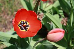 Tulipa, Tulip, Red full bloom tulip. Beautiful red tulip bloom; catching the full sunlight on an early spring day Royalty Free Stock Photography