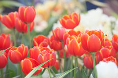 The beautiful red tulip Stock Images