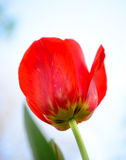 Beautiful Red Tulip on Bright Background. Beautiful Red Tulip on the Bright Background Royalty Free Stock Photography