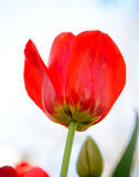 Beautiful Red Tulip on Bright Background. Beautiful Red Tulip on the Bright Background Stock Images