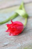 Beautiful red tulip close up. Beautiful red tulip on the wooden table, shallow depth of field Royalty Free Stock Photos