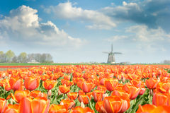 Beautiful Red Tulip Field Royalty Free Stock Image