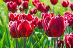 Beautiful red tulip field closeup. In the park Stock Image