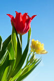 Beautiful red tulip flower Royalty Free Stock Photography