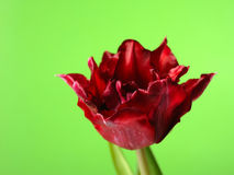 Beautiful red tulip flower over green background Royalty Free Stock Image