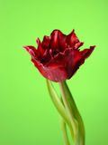 Beautiful red tulip flower over green background Stock Images