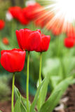 Beautiful red tulip flower Royalty Free Stock Image