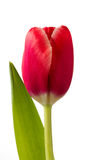 Beautiful red tulip flower Stock Image
