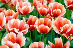 Beautiful red tulip flowers Stock Photos