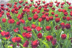 Beautiful red tulip flowers Stock Image
