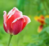 Beautiful red tulip on green background Royalty Free Stock Images