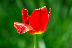 Beautiful red tulip in nature Stock Photos