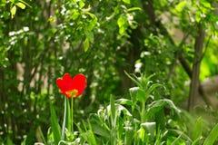 Beautiful red tulip in nature Stock Image