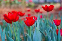 Beautiful red tulip in the Royal garden Royalty Free Stock Images