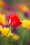 Beautiful red tulip Stock Photography