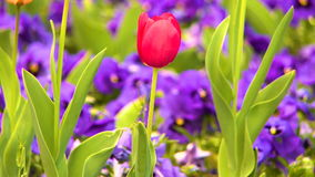 Beautiful red tulip between violas. Filmed in HD stock video