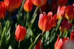 Beautiful red tulipa praestaus also known as fusilier in summer Royalty Free Stock Image