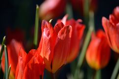 Beautiful red tulipa praestaus also known as fusilier in summer. Sunshine Royalty Free Stock Image