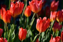Beautiful red tulipa praestaus also known as fusilier in summer. Sunshine Stock Images