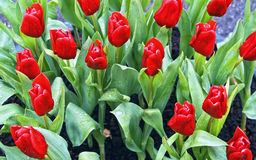 Beautiful red tulips Royalty Free Stock Photos