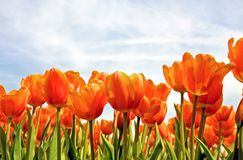 Beautiful red tulips Royalty Free Stock Image