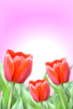 Beautiful red tulips. Three beautiful red tulips with leaves Royalty Free Stock Photos