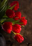 Beautiful red tulips Royalty Free Stock Images