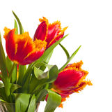 Beautiful Red Tulips Stock Photography