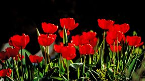 Beautiful red tulips against dark backgroung Stock Photo