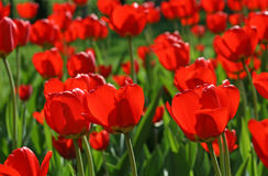 Beautiful red tulips background Stock Photos