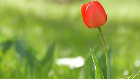 Beautiful red tulips on background of green spring grass in a forest park. Beautiful red tulips on a background of green spring grass in a forest park stock footage