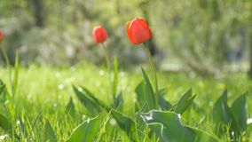 Beautiful red tulips on background of green spring grass in a forest park. Beautiful red tulips on a background of green spring grass in a forest park stock video footage