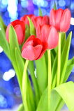 Beautiful red tulips on bokeh background Stock Photos
