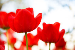 Beautiful Red Tulips on Bright Background. Beautiful Red Tulips on the Bright Background Royalty Free Stock Image