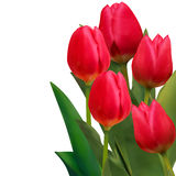 Beautiful red tulips card template. EPS 8 Royalty Free Stock Photography
