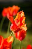 Beautiful red tulips Stock Image