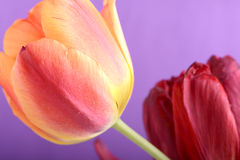 Beautiful red tulips, close-up flowers Royalty Free Stock Photo