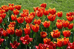 Beautiful red tulips Stock Image