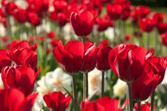 Beautiful red tulips and daffodils in a sunny park. Beautiful red open tulips and daffodils in the autumn sunny forest or in the field royalty free stock photography