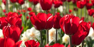 Beautiful red tulips and daffodils in a sunny park. Beautiful red open tulips and daffodils in the autumn sunny forest or in the field stock photography