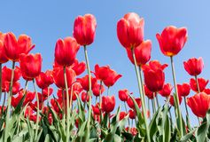 Beautiful red tulips facing a blue sky Stock Photography