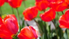 Beautiful Red Tulips Field With Blurry Background.  stock video