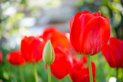 Beautiful Red Tulips in Field. Flower Image with Bright Background Stock Photography