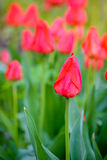 Beautiful Red Tulips in the Field. Spring Flowers Stock Photography