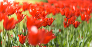 Beautiful red tulips in field in spring. Royalty Free Stock Photography