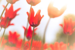 Beautiful red tulips on field in spring. Royalty Free Stock Image