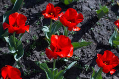 Beautiful red tulips. Stock Image