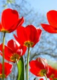 Beautiful Red Tulips in Field under Spring Sky in Bright Sunlight Royalty Free Stock Photo