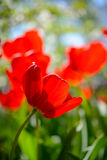 Beautiful Red Tulips in Field under Spring Sky in Bright Sunlight Stock Photography